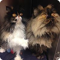 Adopt A Pet :: Huntley - Newport Beach, CA