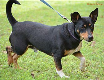 Miniature Pinscher Mix Dog for adoption in Cat Spring, Texas - Willie Min Pin