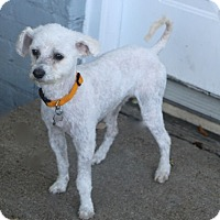 Poodle (Miniature)/Maltese Mix Dog for adoption in Woonsocket, Rhode Island - Kassidy