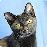 Adopt A Pet :: Shrike - Winston-Salem, NC