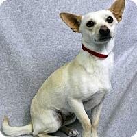 Adopt A Pet :: Abby - Westminster, CO