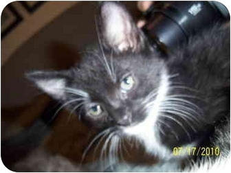 Domestic Shorthair Kitten for adoption in Cleveland, Ohio - Shirley