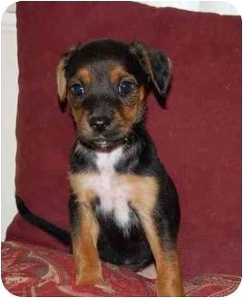 Labrador Retriever/Spaniel (Unknown Type) Mix Puppy for adoption in Chula Vista, California - Coco Puff