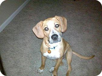 Beagle/Hound (Unknown Type) Mix Dog for adoption in Garden City, Michigan - Nellie