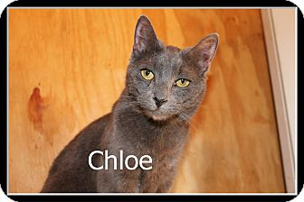 Russian Blue Cat for adoption in Wichita Falls, Texas - Chloe