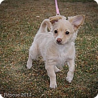 Adopt A Pet :: Poncho - Broomfield, CO