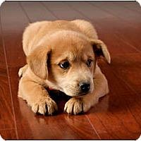 Adopt A Pet :: Cinnamon - Owensboro, KY