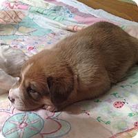 Adopt A Pet :: Wallace - Denver, CO