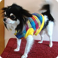 Adopt A Pet :: Cookie - Osseo, MN