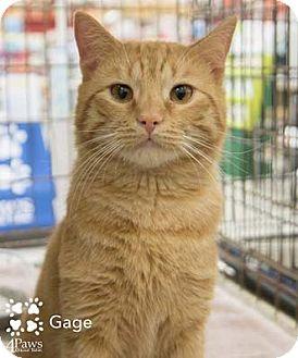 Domestic Shorthair Cat for adoption in Merrifield, Virginia - Gage