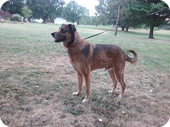 German Shepherd Dog/Labrador Retriever Mix Dog for adoption in Canton, Ohio - King