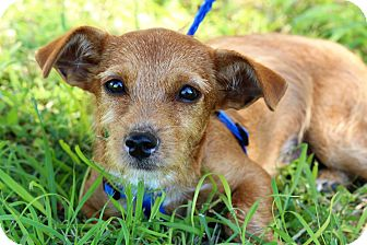 Terrier (Unknown Type, Small) Mix Puppy for adoption in Brownsville, Texas - Waffles