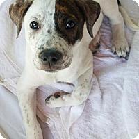 Adopt A Pet :: Petey - Tucson, AZ