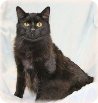 Domestic Mediumhair Cat for adoption in Howell, Michigan - Joey