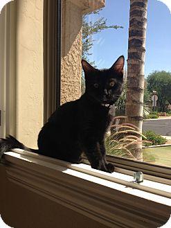 Domestic Mediumhair Kitten for adoption in Chandler, Arizona - Wolf