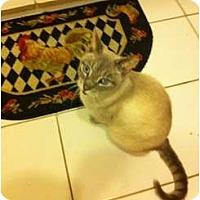 Adopt A Pet :: Siam - Miami, FL