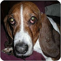 Adopt A Pet :: Shortcake - Phoenix, AZ