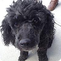 Adopt A Pet :: Spec - Richmond, VA