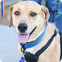 Adopt A Pet :: Laddie - Santa Monica, CA