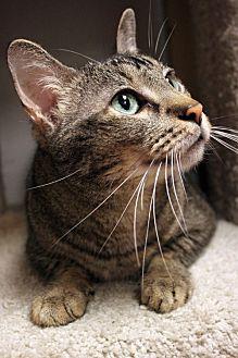 Domestic Shorthair Cat for adoption in Houston, Texas - Xavier