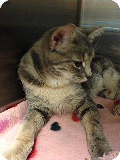 Domestic Shorthair Cat for adoption in Muncie, Indiana - Maggie