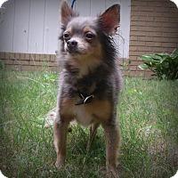 Adopt A Pet :: Little Dude (Maq) - Muskegon, MI