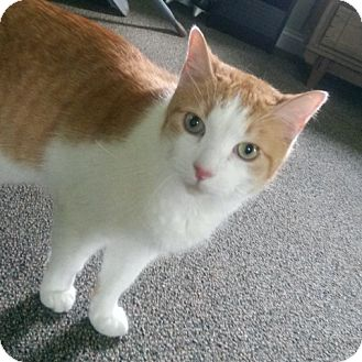 Domestic Shorthair Cat for adoption in Palatine, Illinois - Chad