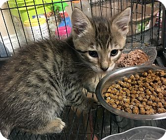 Domestic Shorthair Kitten for adoption in Loogootee, Indiana - Cherry