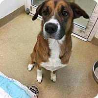 Adopt A Pet :: Hailey AKA Carol - Miami, FL
