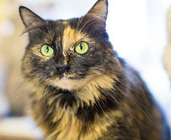 Domestic Longhair Cat for adoption in Auburn, California - Woockie
