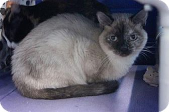 Siamese Cat for adoption in Mission, Kansas - Raspy