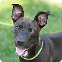 Adopt A Pet :: Brownton - Brattleboro, VT