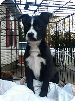 Border Collie Mix Puppy for adoption in Newtown, Connecticut - Ophelia
