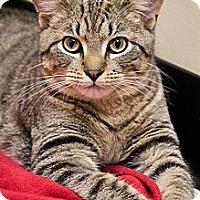 Adopt A Pet :: Teddy Taffy - Chicago, IL