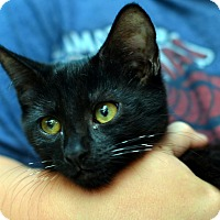 Adopt A Pet :: Kitten Zebra - Brooklyn, NY