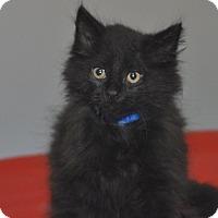 Adopt A Pet :: Midnight - Medina, OH