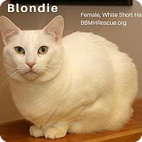 Domestic Shorthair Cat for adoption in Temecula, California - Blondie