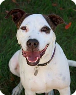 Bull Terrier Mix Dog for adoption in Nashville, Tennessee - Nelson