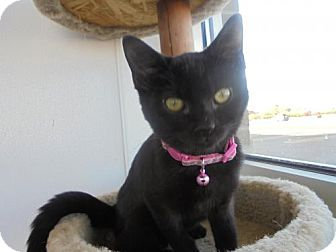 Domestic Shorthair Kitten for adoption in Livonia, Michigan - Sabrina-ADOPTED