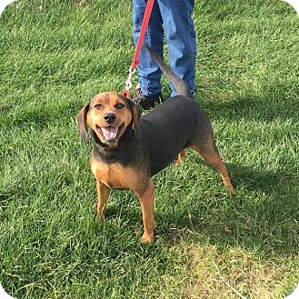 Hound (Unknown Type) Mix Dog for adoption in Huntley, Illinois - Violet