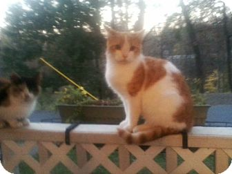American Shorthair Cat for adoption in Fayetteville, West Virginia - Pumpkin