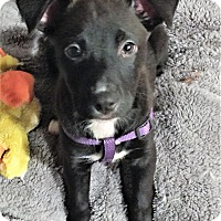 Adopt A Pet :: Ginny Weasley - Schaumburg, IL