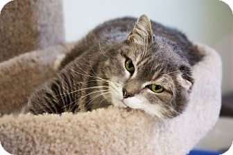 American Bobtail Cat for adoption in Hot Springs, Arkansas - Bobb