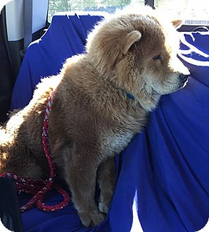 Chow Chow Dog for adoption in Mansfield, Texas - Captain