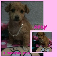 Maltese/Terrier (Unknown Type, Small) Mix Puppy for adoption in LAKEWOOD, California - Roxy