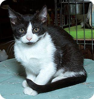Domestic Shorthair Cat for adoption in Sacramento, California - Andi