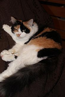 Calico Cat for adoption in Napa, California - GloGlo
