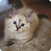 Adopt A Pet :: Rei - Chicago, IL