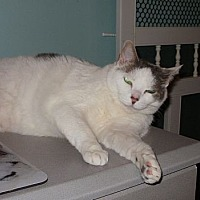Domestic Shorthair Cat for adoption in Virginia Beach, Virginia - Besty