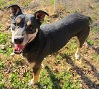 Rottweiler/Shepherd (Unknown Type) Mix Dog for adoption in Memphis, Tennessee - Happy